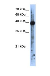 NBP1-57271 - RBMS2 / SCR3