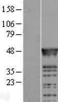 NBL1-15221 - RBMS2 Lysate