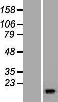 NBL1-15229 - RBP5 Lysate