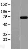 NBL1-12012 - RC74 Lysate