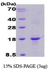 NBC1-18339 - Calcipressin-1