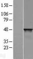NBL1-15242 - RCC1 Lysate