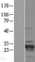 NBL1-15252 - RD3 Lysate