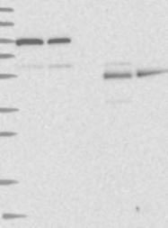 NBP1-87144 - REC8