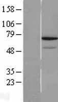 NBL1-15262 - REC8 Lysate
