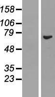 NBL1-15263 - REC8 Lysate