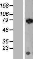 NBL1-15264 - RECQ1 Lysate