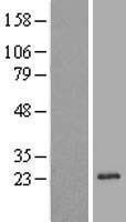 NBL1-15266 - REEP1 Lysate