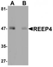 NBP1-76255 - REEP4