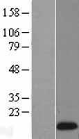 NBL1-15271 - REG1 Lysate