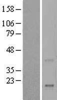 NBL1-15275 - REG4 Lysate