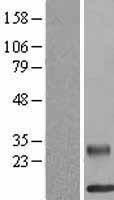 NBL1-15288 - RELM beta Lysate