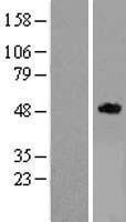 NBL1-15278 - RELT Lysate