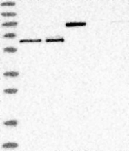 NBP1-89059 - REPIN1 / ZNF464