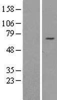 NBL1-15281 - REPIN1 Lysate