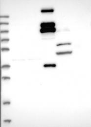 NBP1-84863 - REXO1