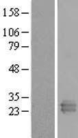 NBL1-15291 - REXO2 Lysate