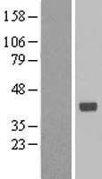 NBL1-15293 - RFC3 Lysate