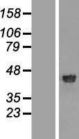 NBL1-15294 - RFC4 Lysate