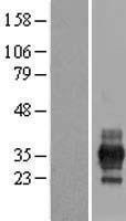 NBL1-15299 - RFPL1 Lysate