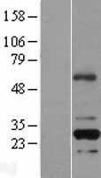 NBL1-15300 - RFPL2 Lysate