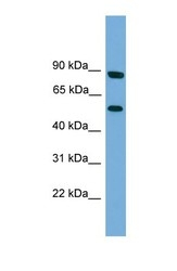 NBP1-57042 - Raftlin-2 / RFTN2