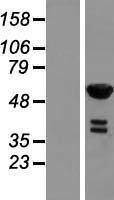 NBL1-15302 - RFTN2 Lysate