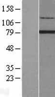 NBL1-15305 - RFX2 Lysate