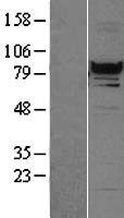 NBL1-15306 - RFX3 Lysate