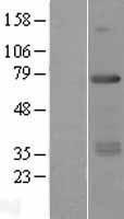 NBL1-15308 - RFX5 Lysate