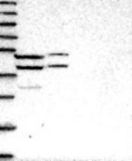 NBP1-83654 - RG9MTD1