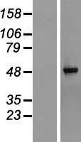 NBL1-15310 - RG9MTD1 Lysate