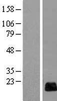 NBL1-08157 - RGC32 Lysate