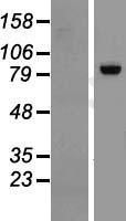 NBL1-15314 - RGL3 Lysate