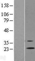 NBL1-15318 - RGR Lysate
