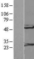 NBL1-15319 - RGS10 Lysate