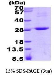 NBP1-41226 - RGS16 / RGSR