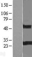 NBL1-15326 - RGS19 Lysate