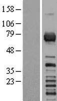 NBL1-15330 - RGS3 Lysate