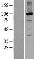 NBL1-15333 - RGS3 Lysate