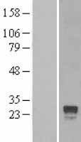 NBL1-15334 - RGS4 Lysate