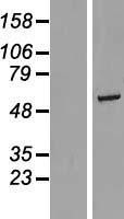 NBL1-15336 - RGS6 Lysate