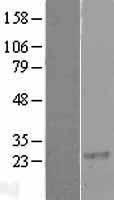 NBL1-15338 - RGS8 Lysate