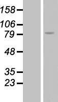 NBL1-15339 - RGS9 Lysate
