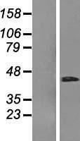 NBL1-15342 - RHBDD3 Lysate