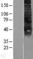 NBL1-15345 - RHCE Lysate