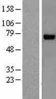 NBL1-15353 - RHOBTB3 Lysate
