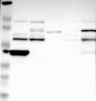 NBP1-86814 - RIBC2
