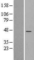 NBL1-15367 - RIC3 Lysate