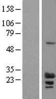 NBL1-15369 - RILPL2 Lysate